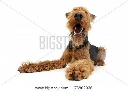 Studio Shot Of An Adorable Airedale Terrier