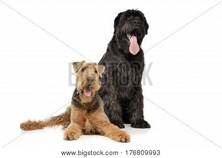 Studio Shot Of An Adorable Airedale Terrier And A Black Russian Terrier