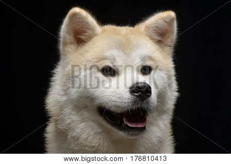 Portrait Of An Adorable Akita Inu