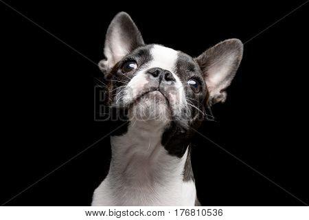 Portrait Of An Adarable Boston Terrier