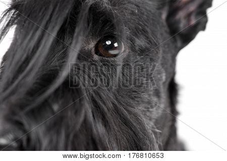 Portrait Of An Adorable Scottish Terrier