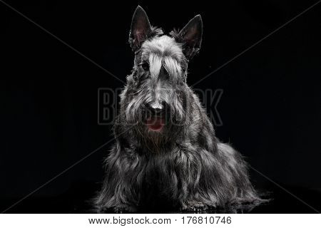Studio Shot Of An Adorable Scottish Terrier