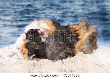 Multicolored beautiful guinea pig standing on wet sand on the seashore