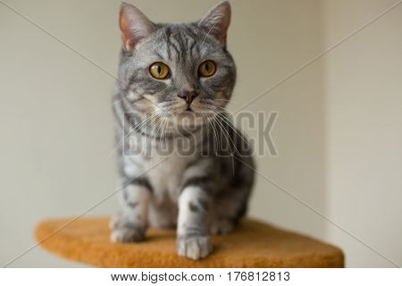 cute gray scottish straight cat looking attentively