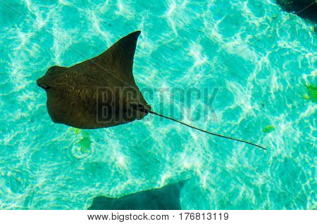 A baby ray in a perfectly clear water with small waves. New Providence Island, Nassau, Bahamas.