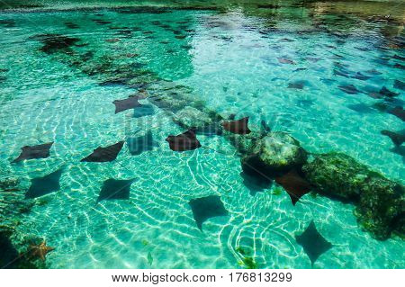 A lot of rays in a crystal clear water pond. New Providence Island, Nassau, Bahamas.