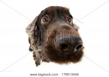 Wide Angle Portrait Of An Adorable English Cocker Spaniel