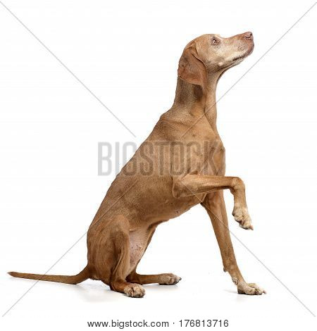 An Adorable Hungarian Vizsla Lifting Her Front Leg