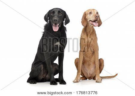 Studio Shot Of An Adorable Mixed Breed Dog And A Hungarian Vizsla