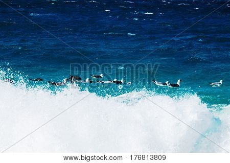 Many seagulls relaxing and cooling in the ocean waves. New Providence Island, Nassau, Bahamas.