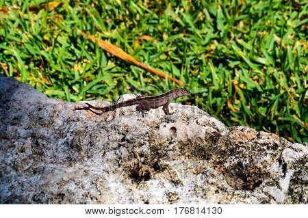 Small lizard on a rock with grass in the background. New Providence Island, Nassau, Bahamas.