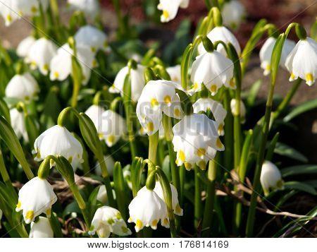 Spring knot flower, spring, knot, flowers, nature, park, grass, violet, green, flora, fragrance, garden