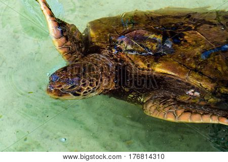 A young beige & brown turtle in a clean water pond. New Providence Island, Nassau, Bahamas.