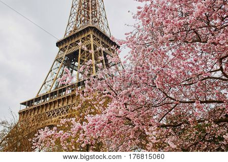 Cherry Blossom Flowers With Eiffel Tower In Paris