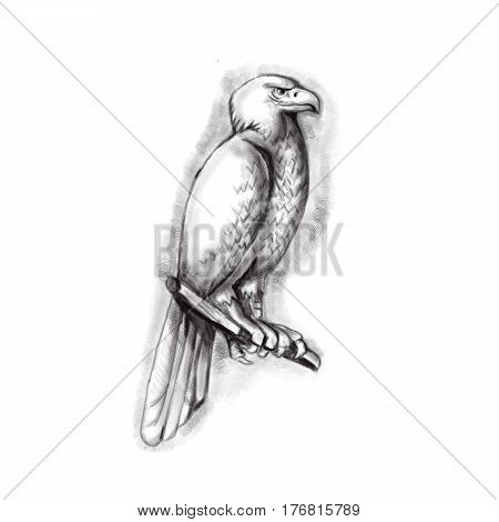 Tattoo style illustration of an Australian wedge-tailed eagle or bunjil Aquila audax sometimes known as the eaglehawk the largest bird of prey in Australia perched on a branch viewed from the side set on isolated white background.