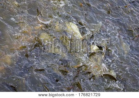 Image of a fish herd in the water(Java barb Silver barb). Aquatic animals