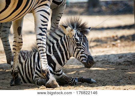 Image of an zebra baby on ground. wild animals.