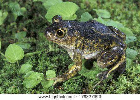 A Spadefoot Toad on a green mossy surface in New Jersey