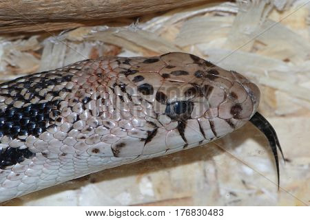 Northern Pine Snake (Pituophis melanoleucus) close-up of a captive animal