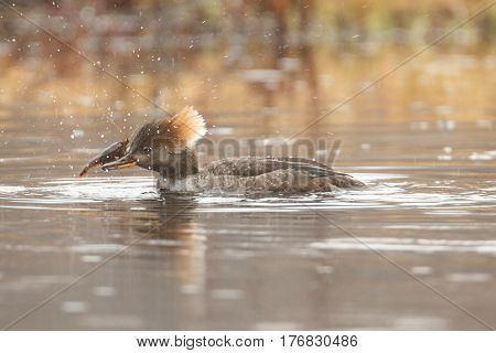 Female Hooded Merganser (Lophodytes cucullatus) swimming in a pond