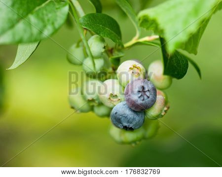 Some ripening bilberries on the branch in a kitchen garden