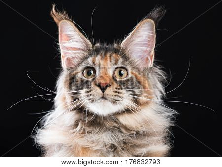 Portrait of domestic tortoiseshell Maine Coon kitten. Fluffy kitty on black background. Adorable curious young cat looking away.