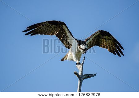 An osprey spreading its wings atop a tree