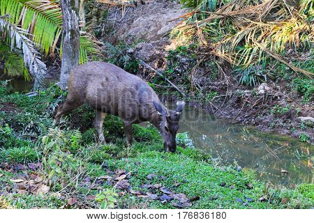 Travel to National Park Khao Yai Thailand. A deer near the river on the watering place.