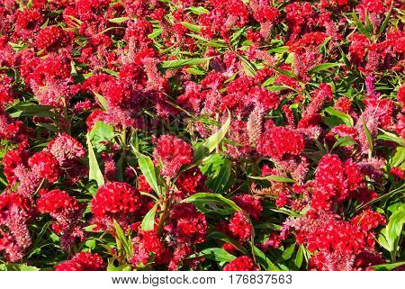 Closeup to Cockscomb Chinese Wool Flower Celosia Argentea