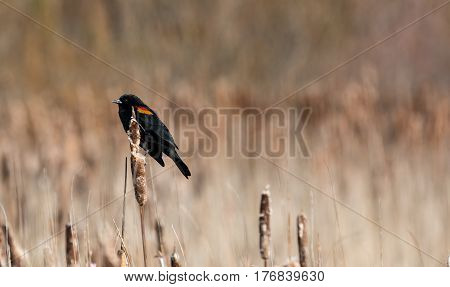 A male Red Winged Blackbird sits on a cattail waiting for a mate.