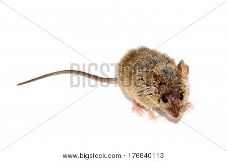 house mouse (Mus musculus) on white background Close-up