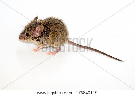 house mouse (Mus musculus) on white background Close-up side view full length with tail