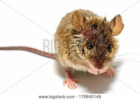 house mouse (Mus musculus) on white background Close-up facing camera