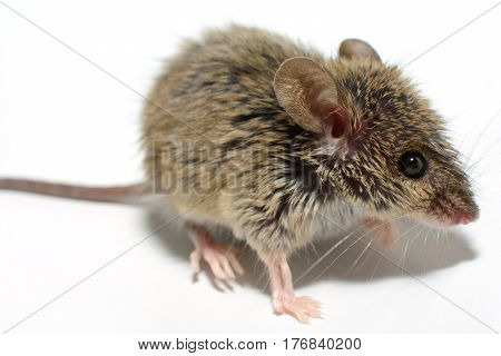 house mouse (Mus musculus) on white background Close-up side view