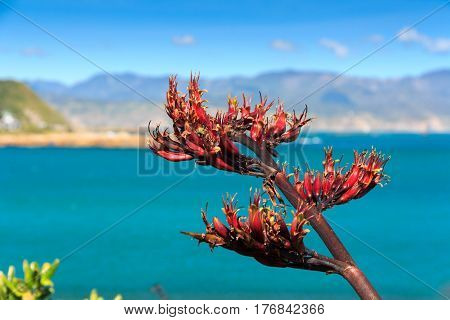sea and hills landscape with red flax flowers. Location: New Zealand Aotearoa, capital city Wellington, North Island.