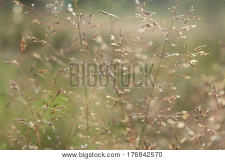 Meadow grass bluegrass green and brown colors in the foreground. In the background is beautiful bokeh. Day the sun is shining. Heat.