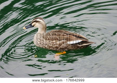 a duck swimming on the green lake.
