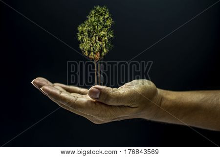 Hand Holding Borassus Flabellifer Palm Tree