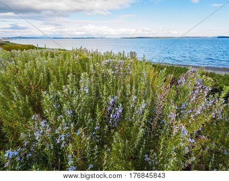Rosemary plant (Rosmarinus officinalis) blossoming with fragrant blue flowers growing at the ocean shore