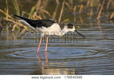 Image of bird black-winged stilt are looking for food (Himantopus himantopus) Wild Animals.