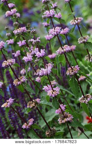 Purple wild mint flower plant in the park
