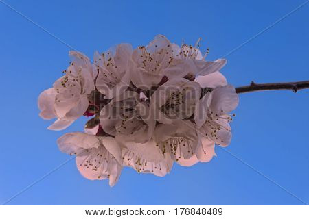Cherry Blossom against a blue sky in the Okanagan Valley near Kelowna British Columbia Canada