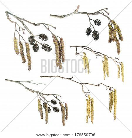 Set of alder branches with catkins isolated on white background
