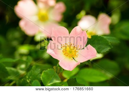 Pink rosehip flower close-up on a background of green leaves