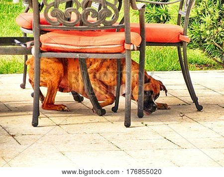 Boxer Dog tries to catch a lizarrd under the table