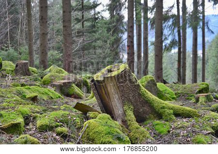 stump of an old tree felled South Bohemia Czech Republic