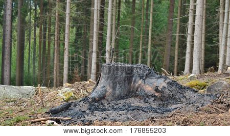 charred stump of a large tree felled South Bohemia Czech Republic