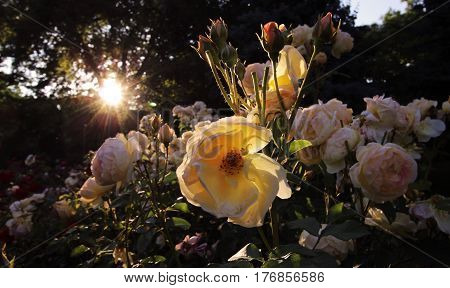 Yellow roses in back light - outdoor photo
