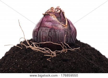 Bright hyacinth bulb on the organic soil over white background