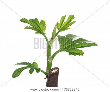 Young green fig sprout isolated over white background
